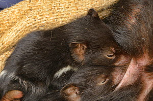 Tasmanian devil (Sarchopilus harrisii) young drinking from pouch. Photographed during DFTD biologist trapping research. Tasmania, Australia.  -  Dave Watts