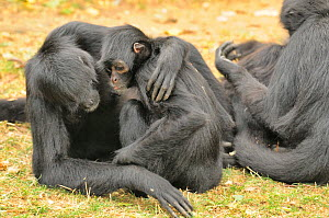 Colombian spider monkeys (Ateles fusciceps rufiventris) embracing each other, captive. Critically endangered species.  -  Dave Watts