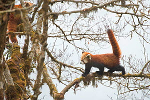 Red panda (Ailurus fulgens) walking along branch of tree using its tail for balance, Singalila National Park, West Bengal, India. - Ben  Cranke