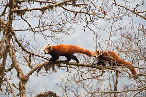 Red panda (Ailurus fulgens) subadult  siblings walking along branch of tree in  Singalila National Park, West Bengal, India. - Ben  Cranke