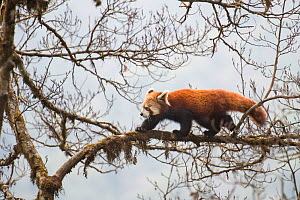 Red panda (Ailurus fulgens) walking along branch of tree, Singalila National Park, West Bengal, India. - Ben  Cranke