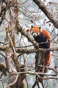 Red panda (Ailurus fulgens) in tree, Singalila National Park, West Bengal, India. - Ben  Cranke