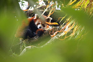 Red panda (Ailurus fulgens) resting in the canopy, Singalila National Park, West Bengal, India. - Ben  Cranke