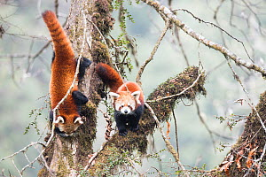 Red panda (Ailurus fulgens) subadult  siblings in the typical cloud forest habitat of Singalila National Park, West Bengal, India. - Ben  Cranke