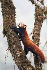 Red panda (Ailurus fulgens) moving about a tree in the typical cloud forest habitat of Singalila National Park, West Bengal, India. - Ben  Cranke