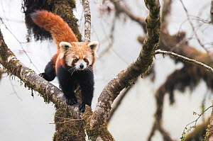 Redpanda (Ailurus fulgens) walking along branch of tree in the typical cloud forest habitat of Singalila National Park, West Bengal, India. - Ben  Cranke