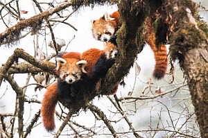 Red panda (Ailurus fulgens) family, adult female and two subadult juveniles, rest together in the canopy of the cloud forest. Singalila National Park, West Bengal, India. - Ben  Cranke