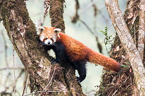 Red panda (Ailurus fulgens) moving about in tree,  Singalila National Park, West Bengal, India. - Ben  Cranke