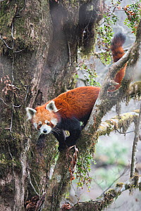 Red panda (Ailurus fulgens) moving about in tree in  typical cloud forest habitat of Singalila National Park, West Bengal, India. - Ben  Cranke