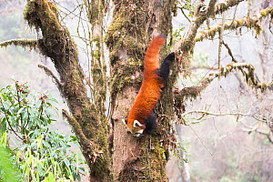 Red panda (Ailurus fulgens) descends from the cloud forest canopy to feed on bamboo shoots and leaves. Singalila National Park, West Bengal, India. - Ben  Cranke