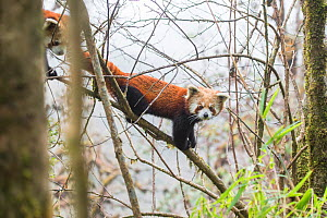 Red Panda (Ailurus fulgens) subadult siblings descend from the canopy of the cloud forest  to feed on bamboo shoots and leaves. Singalila National Park, West Bengal, India. - Ben  Cranke