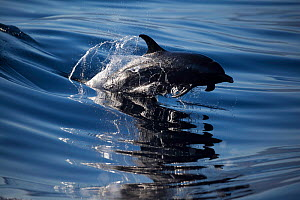 Pacific spotted dolphin (Stenella attenuata) leaping out of water, Hawaii. - David  Fleetham