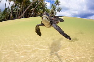 Green sea turtle (Chelonia mydas) hatchling entering the water Yap, Micronesia. Small repro only  -  David Fleetham