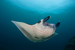 Manta ray (Manta birostris) gliding over a cleaning station in M'il Channel, Yap, Micronesia.  -  David  Fleetham