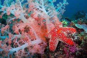 Alconarian coral, starfish, crinoids and a feather dust worm all compete for space in this Indonesian reef scene off Rinca Island, Komodo National Park, Indonesia. - David  Fleetham