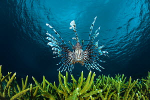 Lionfish (Pterois volitans) Indonesia.  -  David  Fleetham