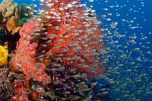 Gorgonian, alconarian coral and schooling Pygmy sweepers (Parapriacanthus ransonneti) Indonesia. - David  Fleetham