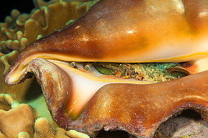 Spider conch (Lambis lambis) Yap, Federated States of Micronesia.  -  David  Fleetham