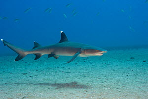 Whitetip reef shark (Triaenodon obesus) cruises over a sandy bottom off the island of Maui, Hawaii.  -  David  Fleetham