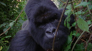 Close-up of a silverback Mountain gorilla (Gorilla beringei beringei) approaching camera, shot pans to tracker next to camera, Bukima, Virunga National Park, Democratic Republic of Congo, 1996.  -  Jabruson Motion