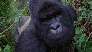 Close-up of a tracker, shot pans to a silverback Mountain gorilla (Gorilla beringei beringei) looking at camera, Bukima, Virunga National Park, Democratic Republic of Congo, 1996.  -  Jabruson Motion