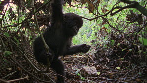 Wide angle shot of a juvenile Mountain gorilla (Gorilla beringei beringei) swinging from a branch and looking at camera, with a silverback nearby, Bukima, Virunga National Park, Democratic Republic of...  -  Jabruson Motion