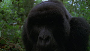 Male Mountain gorilla (Gorilla beringei beringei) approaches and looks at camera, Bukima, Virunga National Park, Democratic Republic of Congo, 1996.  -  Jabruson Motion