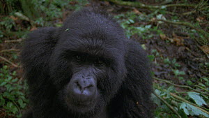 Close-up of a male Mountain gorilla (Gorilla beringei beringei) looking at camera, with another male approaching from behind, beats chest displaying, Bukima, Virunga National Park, Democratic Republic...  -  Jabruson Motion