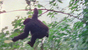 Juvenile Mountain gorilla (Gorilla beringei beringei) swinging down to the ground using a springy sapling, Bukima, Virunga National Park, Democratic Republic of Congo, 1996. - Jabruson Motion