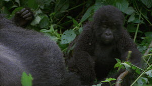 Female Mountain gorilla (Gorilla beringei beringei) resting with a silverback, before a juvenile approaches, Bukima, Virunga National Park, Democratic Republic of Congo, 1996.  -  Jabruson Motion