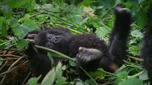 Mountain gorilla (Gorilla beringei beringei) baby resting on thick vegetation, waving legs and arms in the air, Bukima, Virunga National Park, Democratic Republic of Congo, 1996.  -  Jabruson Motion