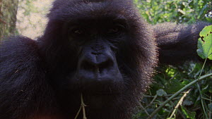 Close-up of a female Mountain gorilla (Gorilla beringei beringei) looking at camera, scratches face, Bukima, Virunga National Park, Democratic Republic of Congo, 1996.  -  Jabruson Motion
