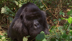 Male Mountain gorilla (Gorilla beringei beringei) and juvenile sitting together in thick vegetation, juvenile leaves and males leans towards the camera, Bukima, Virunga National Park, Democratic Repub...  -  Jabruson Motion