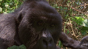 Close-up of a male Mountain gorilla (Gorilla beringei beringei) and juvenile resting, captivated by reflection in camera lens, knocks juvenile over, Bukima, Virunga National Park, Democratic Republic...  -  Jabruson Motion