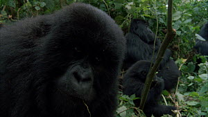 Silverback Mountain gorilla (Gorilla beringei beringei) and family resting in vegetation, with a juvenile peering into the camera lens Bukima, Virunga National Park, Democratic Republic of Congo, 1996...  -  Jabruson Motion
