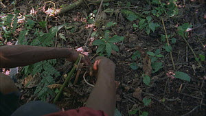 Man setting snare, covering snare loop, Bukima, Virunga National Park, Democratic Republic of Congo, 1996.  -  Jabruson Motion