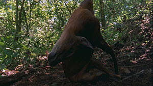 Tilt shot down a rope snare to a dead Black-fronted Duiker (Cephalophus nigrifrons), Bukima, Virunga National Park, Democratic Republic of Congo, 1996.  -  Jabruson Motion