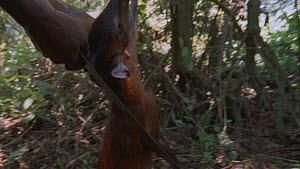 Man approaching a snare containing a dead Black-fronted Duiker (Cephalophus nigrifrons), Bukima, Virunga National Park, Democratic Republic of Congo, 1996.  -  Jabruson Motion