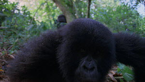 Close-up of a juvenile Mountain gorilla (Gorilla beringei beringei) looking at camera, with a silverback nearby also looking towards camera, Bukima, Virunga National Park, Democratic Republic of Congo...  -  Jabruson Motion