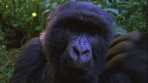 Close-up of a male Mountain gorilla (Gorilla beringei beringei) looking at camera, pulls off lens component, Bukima, Virunga National Park, Democratic Republic of Congo, 1996.  -  Jabruson Motion