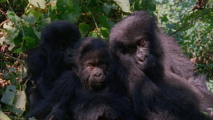 Three juvenile Mountain gorillas (Gorilla beringei beringei) resting in vegetation, rolling and playing before approaching camera, Bukima, Virunga National Park, Democratic Republic of Congo, 1996.  -  Jabruson Motion