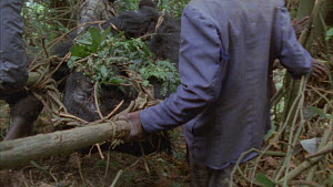 National park guards and trackers transporting a dead silverback Mountain gorilla (Gorilla beringei beringei), Bukima, Virunga National Park, Democratic Republic of Congo, 1996.  -  Jabruson Motion