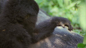 Close-up of two juvenile Mountain gorillas (Gorilla beringei beringei) playing, with a silverback rolling over and resting nearby, Bukima, Virunga National Park, Democratic Republic of Congo, 1996. - Jabruson Motion