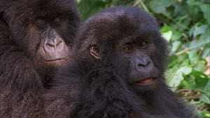 Two juvenile Mountain gorillas (Gorilla beringei beringei) looking at camera, one approaches and peers into lens, takes fright and moves away, Bukima, Virunga National Park, Democratic Republic of Con...  -  Jabruson Motion