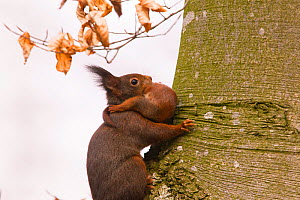Red Squirrel (Sciurus Vulgaris), carrying baby in its mouth Bayern , Germany. March  -  Hermann Brehm