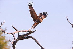 Tawny Eagle (Aquila rapax) taking off, Little Kwara, Botswana June  -  Hermann Brehm