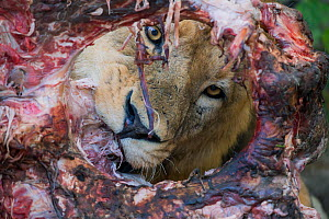Lion (Panthera leo) male, feeding on a giraffe carcass Little Kwara Botswana June - Hermann Brehm