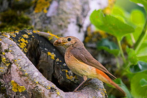 Redstart (Phoenicurus phoenicurus), female at nest hole, Bayern, Germany. June - Hermann Brehm