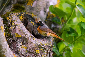 Redstart (Phoenicurus phoenicurus), male at nest hole, Bayern, Germany. June - Hermann Brehm