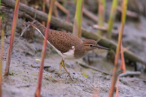Common Sandpiper (Actitis hypoleucos), Bayern, Germany. May  -  Hermann Brehm